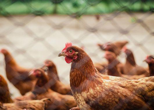 UDMR: Este necesară aplicarea directivei UE pentru oprirea focarului de gripă aviară din județul Mureș - impunerea restricțiilor suplimentare la nivel național nu sunt necesare