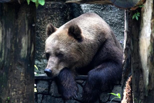 Ministrul Mediului interpelat de senatorul UDMR Császár Károly referitor la problema urșilor